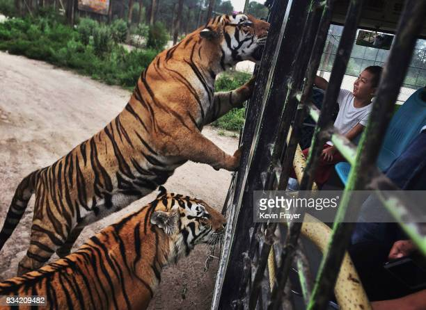 A Chinese tourist feeds Siberian tigers from a tourist bus at the Heilongjiang Siberian Tiger Park on August 16 2017 in Harbin northern China The...