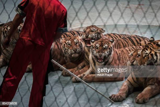 A Chinese trainer holds a stick next to Siberian tigers as they perform at a private circus on rented space at the Heilongjiang Siberian Tiger Park...