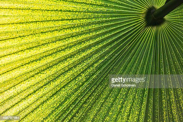 Chinese Windmill Palm -Trachycarpus fortunei-, leaf, Germany