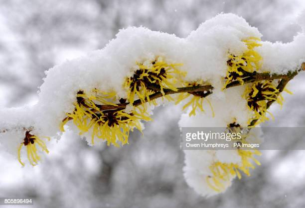 A Chinese Witchhazel tree as snow covers its blossom in gardens near Alnwick in Northumberland