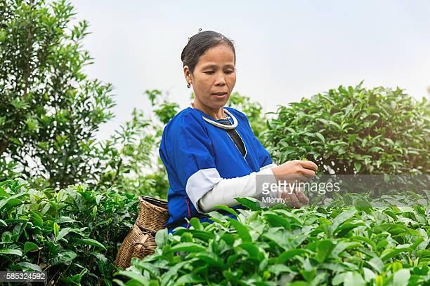 Chinese woman picking tea at chengyang tea garden