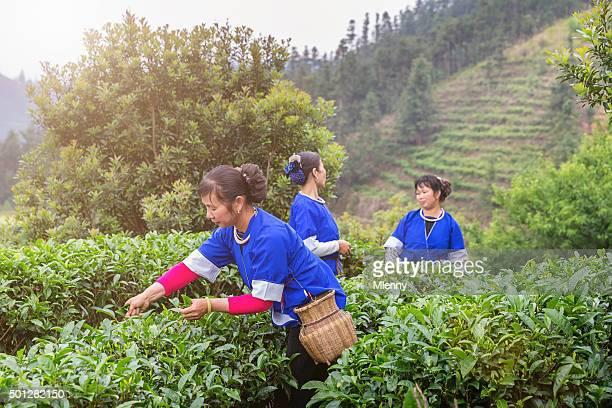 Chinese Women Harvesting Tea Chengyang Teagarden