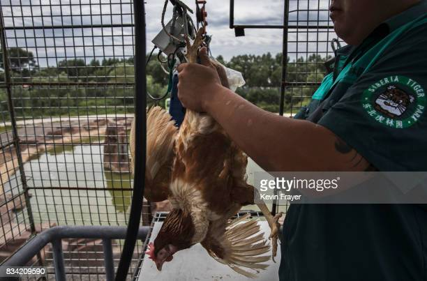A Chinese worker attaches a live chicken to a cable after tourists paid for it to be fed to Siberian tigers at the Heilongjiang Siberian Tiger Park...