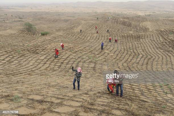Chinese workers work as they sow the seeds in the hay grids to prevent the sand from floating with the wind at the edge of the expanding Maowusu...