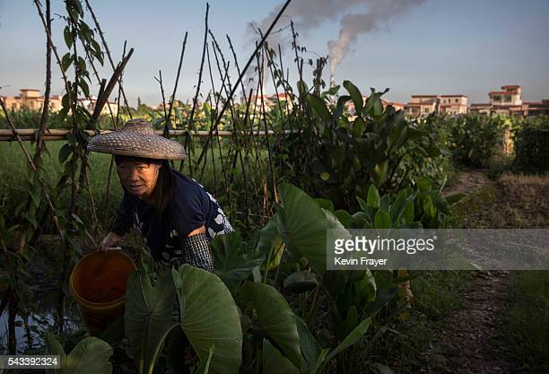 Chinese works her fields in village on Shazai Island where the Sun YatSen UniversityMichigan University Joint Center of Vector Control for Tropical...