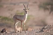 Chinkara (Gazella bennettii), Thar Desert, India