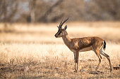 Chinkara/Indian gazelle on grass plain