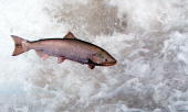 Chinook Salmon Leaps Through White Water May 17 2001 In The Rapid River In Idaho As It Attempts To Clear A Migration Barrier Dam Ideal Stream And...