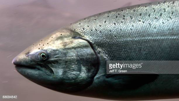 Chinook salmon passes through the viewing room at McNary Lock and Dam on the Columbia River June 7 2005 near Umatilla Oregon In late May 2005 a...