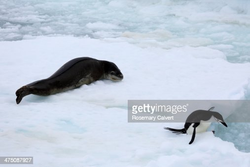 Chinstrap penguin escaping from leopard seal