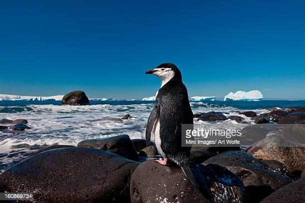Chinstrap penguin, Penguin Island, Antarctica