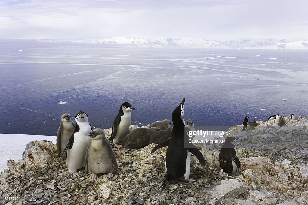 Chinstrap penguins,  Antarctic Peninsula : Stock Photo