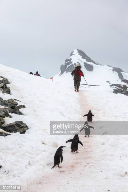 Chinstrap penguins follow man on snowy trail