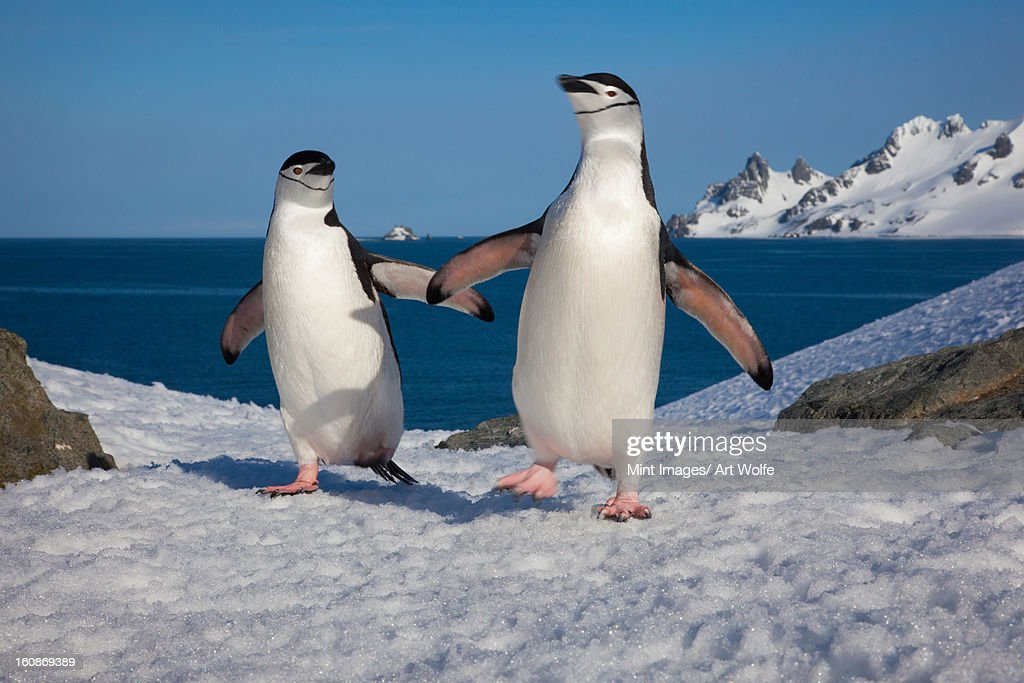 Chinstrap penguins, Half Moon Island, South Shetland Islands, Antarctica : Stock Photo