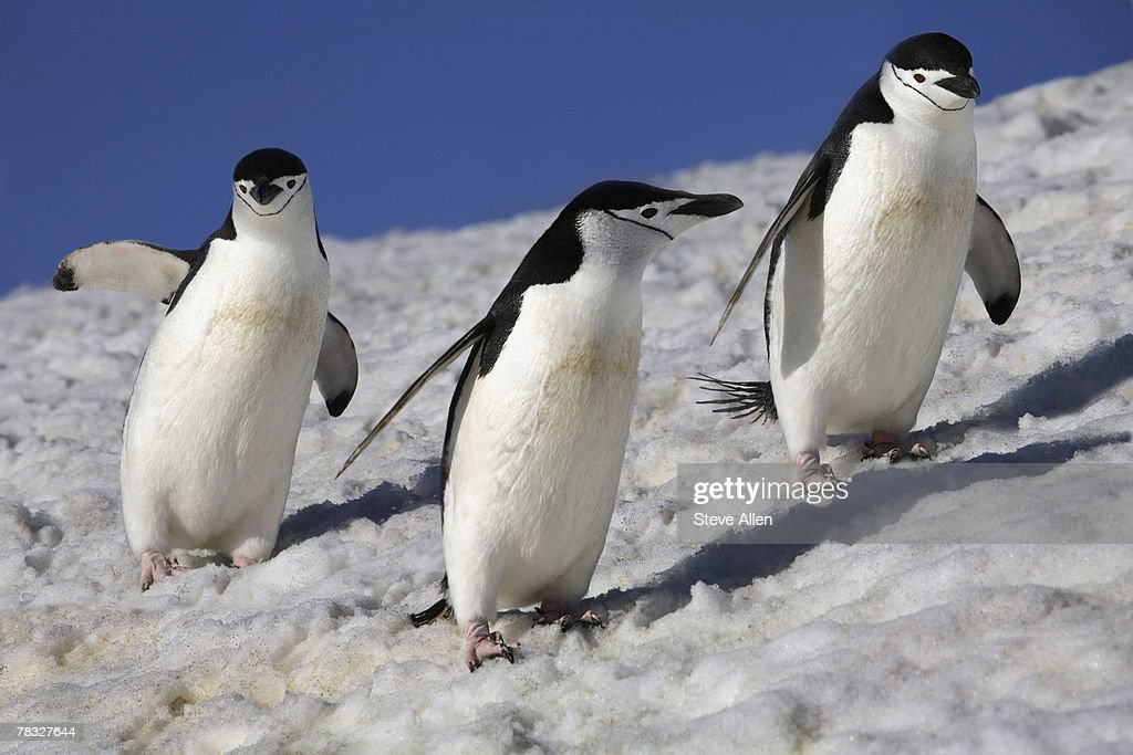 Chinstrap penguins in Antarctica : Stock Photo