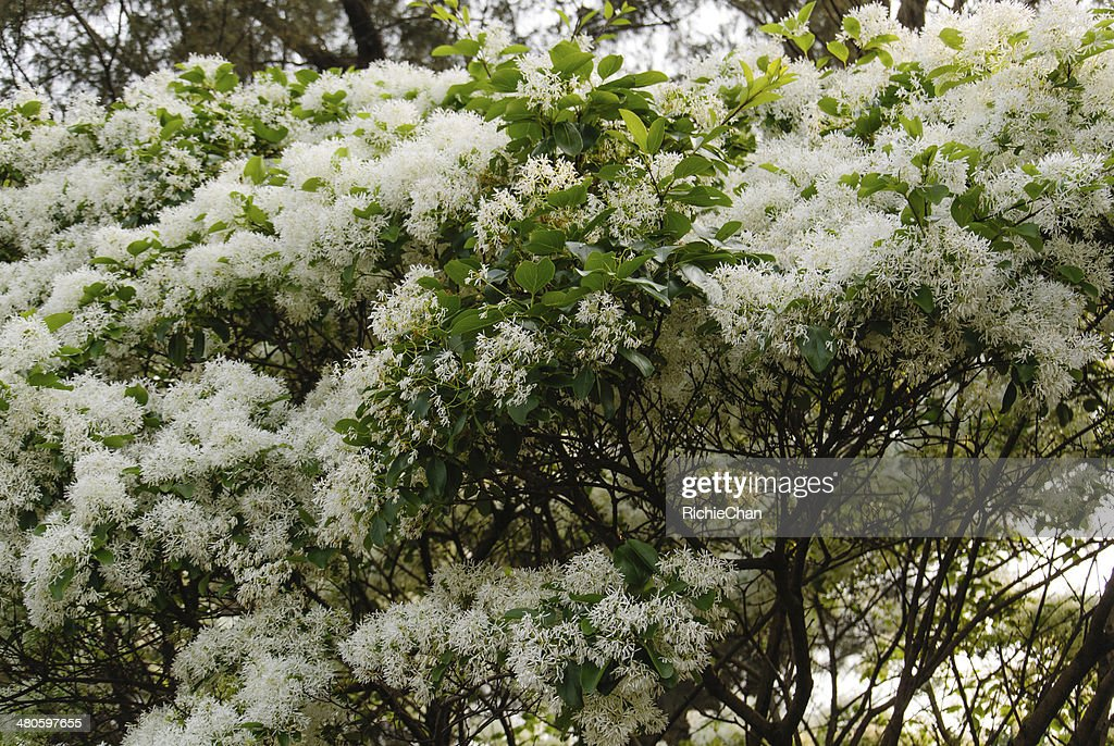 Chionanthus virginicus : Stock Photo
