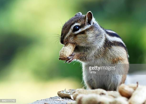 chipmuck is eating peanut