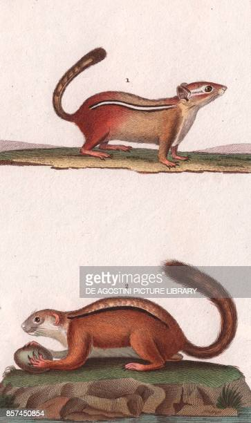 1 Chipmunk 2 Macrosso colour copper engraving retouched in watercolour 9x15 cm from Dizionario delle scienze naturali compilato da vari professori...