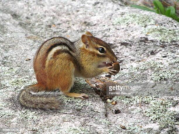 A Chipmunk (ground squirrel) and an Acorn