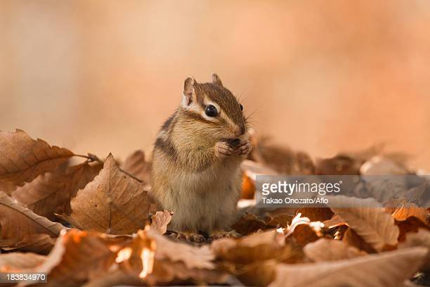Chipmunk and fallen leaves