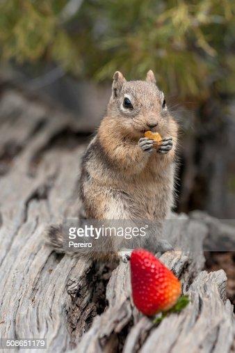 Chipmunk and peanut : Stock Photo