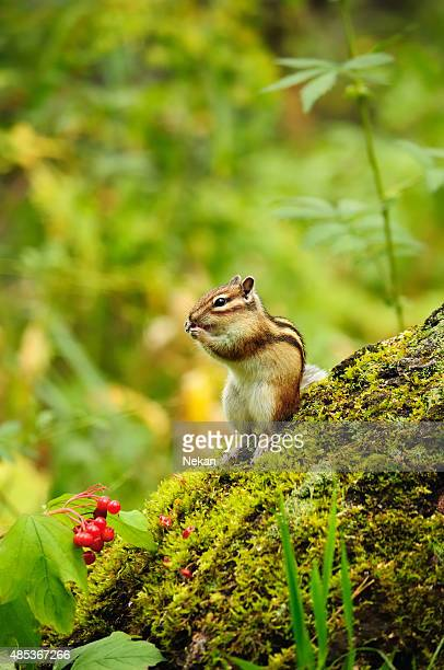Chipmunk eating berries viburnum.