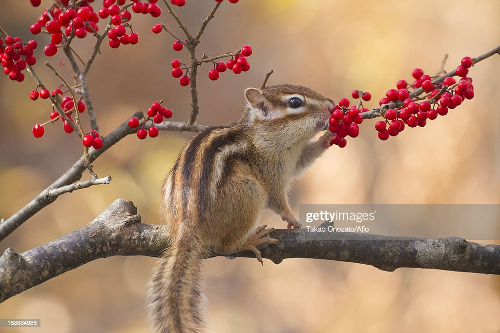 Chipmunk eating red berries