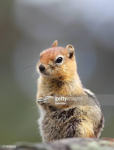 Chipmunk Ground Squirrel.