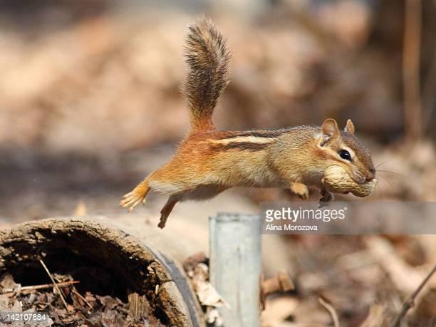 Chipmunk in flight
