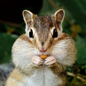 Chipmunk with full jowls eat seeds, on a forest background.