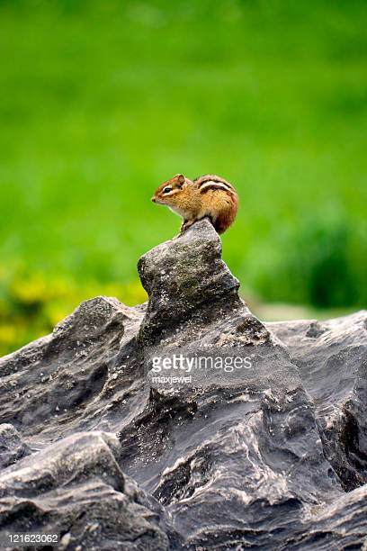Chipmunk on a rock - vertical photo