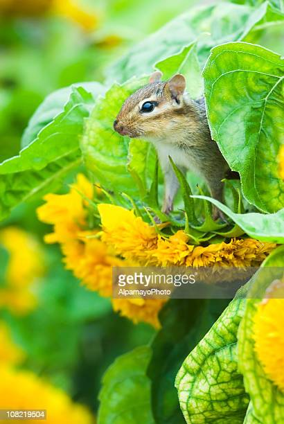 Chipmunk on Sunflower