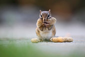 A chipmunk is holding peanuts.