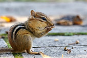 A chipmunk preparing for the winter gathering nuts.