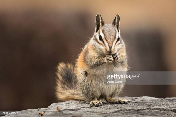 Chipmunk sitting up to eat, facing the viewer