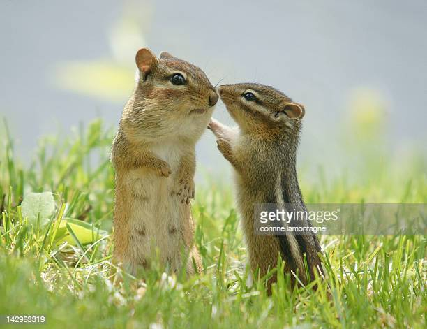Chipmunks in grasses