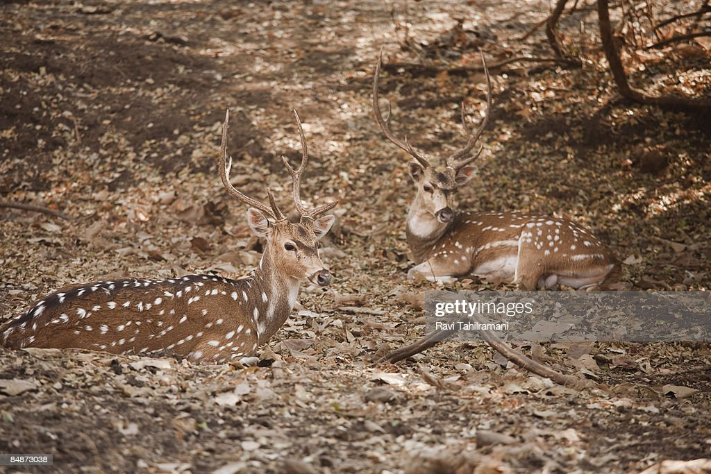 Chital Spotted Deer : Stock Photo