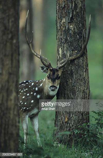 Chital (Axis axis) standing between trees, watching, Bandipur, India