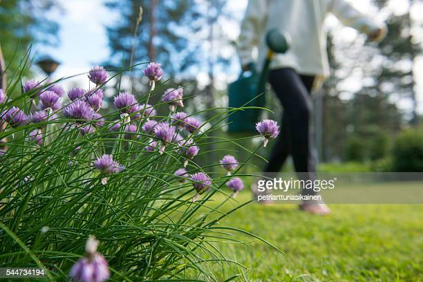 Chive and woman with watering can.