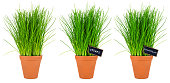 row of chive herbs in pots isolated on white background