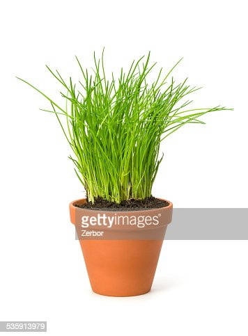 Chives in a clay pot : Stock Photo
