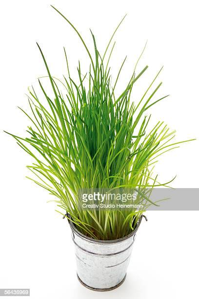 Chives in a pot
