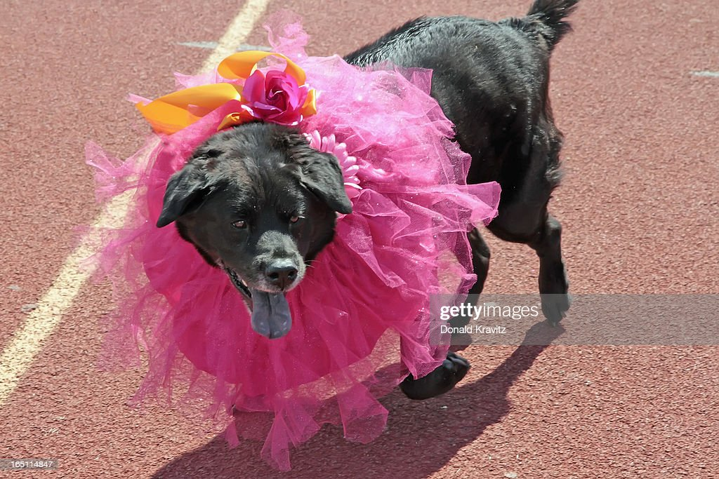 Chloe, a Black Lab/Boxer Mix, attends the Woofin Paws pet fashion show at Carey Field on March 30, 2013 in Ocean City, New Jersey.