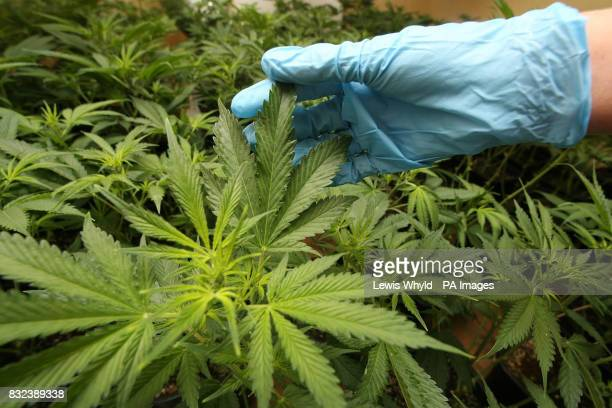 PC Chloe Snell examines a suspected cannabis factory in a house in Dagenham East London found by the police as part of operation Keymer a national...
