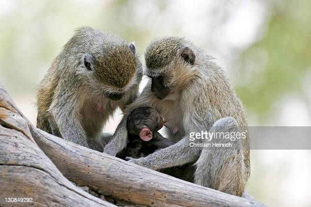 Chlorocebuses, vervet monkeys or green monkeys (Chlorocebus) with a baby, Moremi Nationalpark, Moremi Wildlife Reserve, Okavango Delta, Botswana, Africa