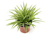 Chlorophytum - evergreen perennial flowering plants in the famil