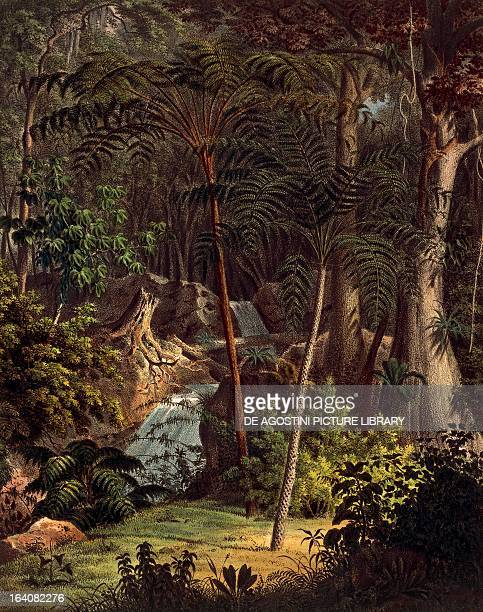 Chnoophora Amazon rainforest colour engravings from Plantarum cryptogamicarum brasilensium table XXVIII by Johann Baptist Ritter von Spix and Carl...