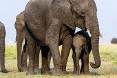 A mother African Elephant and calf graze on dry grass on a floodplain.