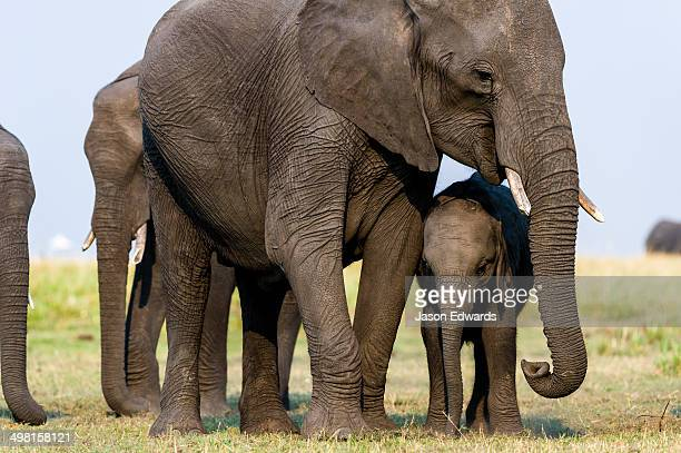A mother African Elephant and calf graze on dry grass on a floodplain.