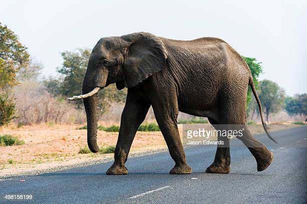 An African Elephant walks across a road near a national park boundary.